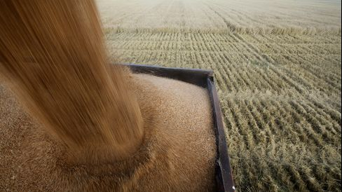 Summer Wheat Harvest In Russia