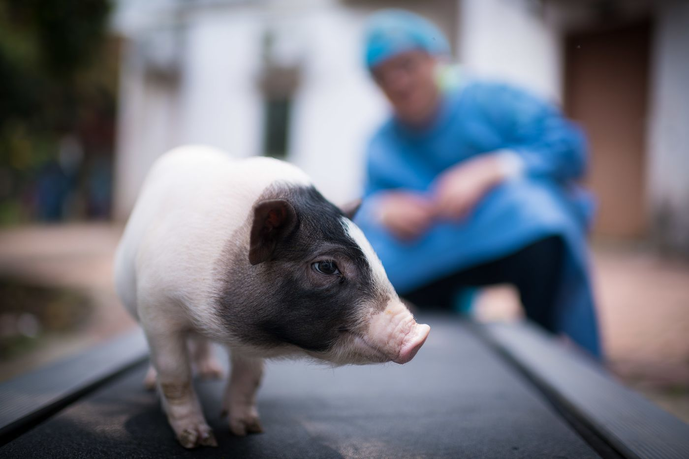 Scientists create world's 1st model of Huntington's disease in pigs