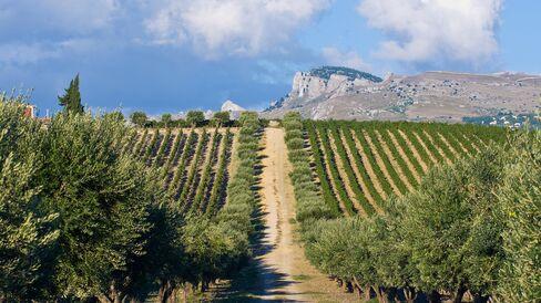Vineyards at Sambuca, Sicily
