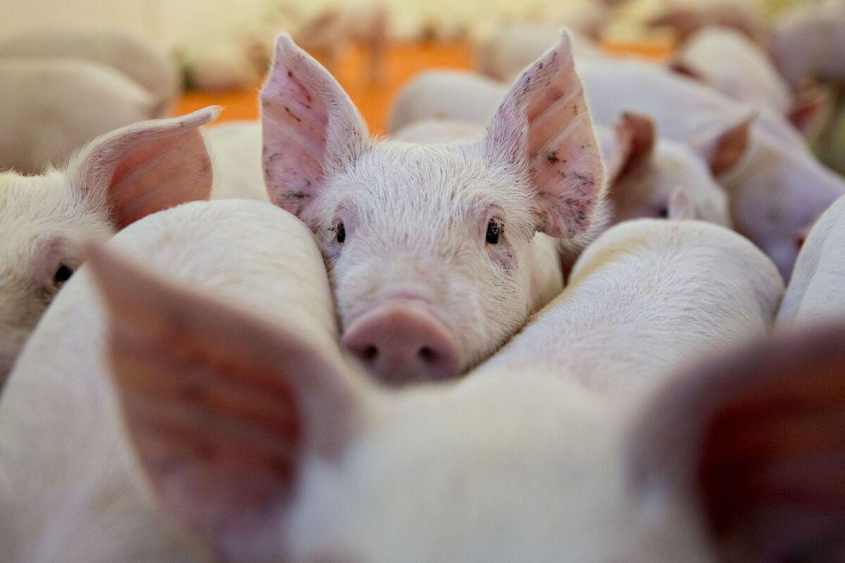 China's Investors Still Like Hogs Even as Swine Fever Abates