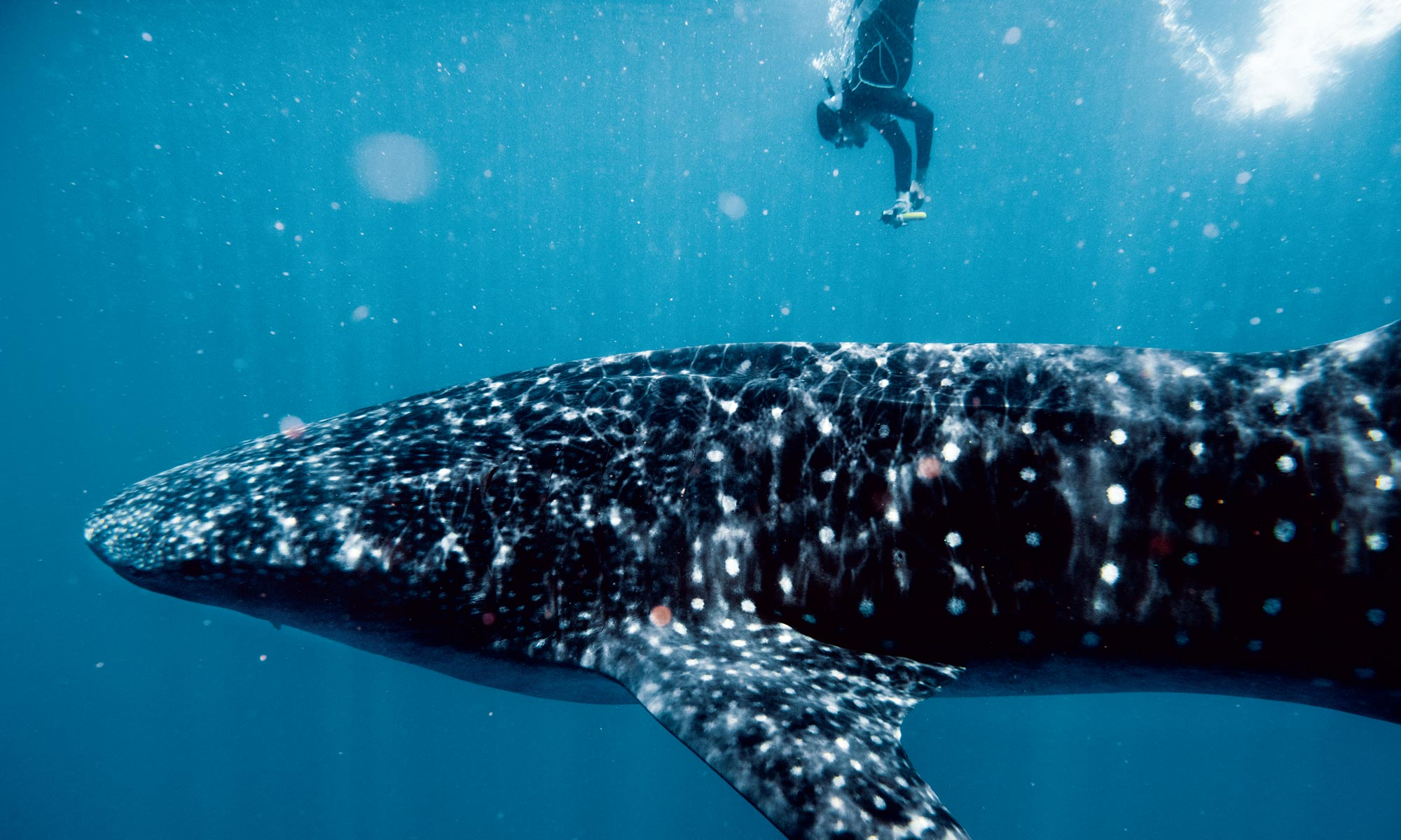 Diving With a Whale Shark in the Gulf of Mexico