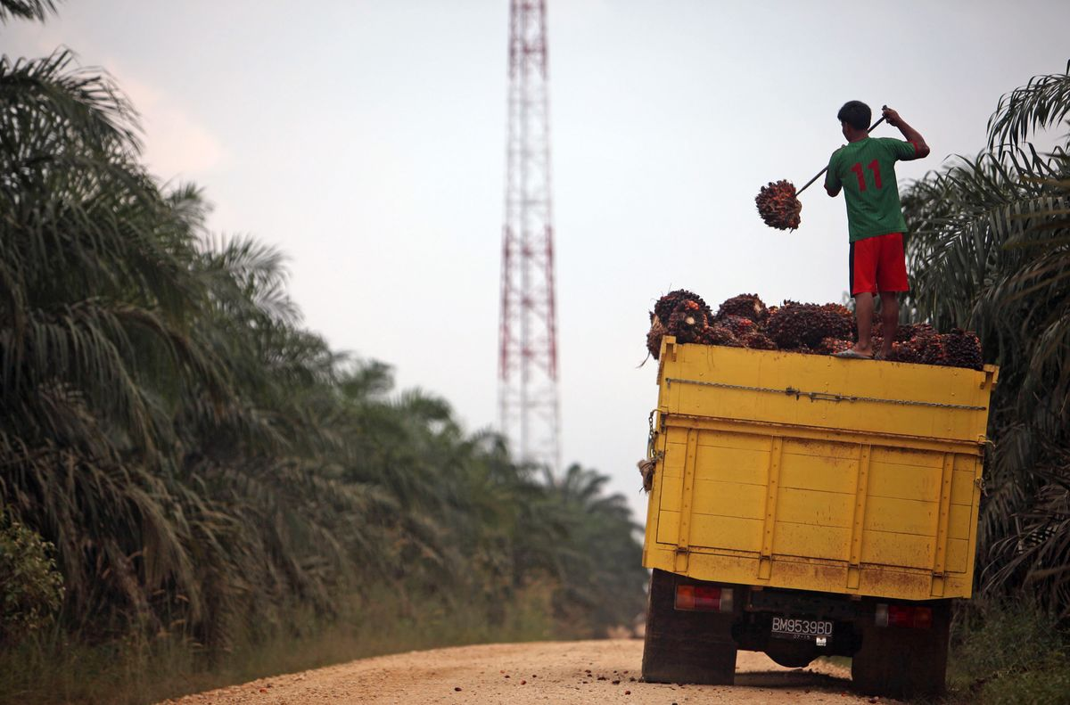 Indonesia Finds One-Fifth of Palm Oil Plantations Are Illegal
