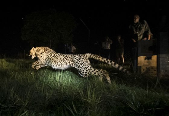 South African Cheetahs Find New Home in Zambia Wetlands Reserve