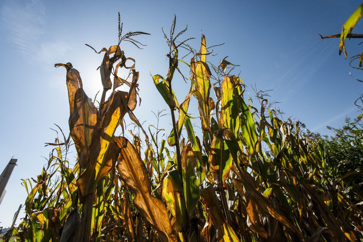 Shortage or No Shortage, Kenya Corn Prices Are Surging