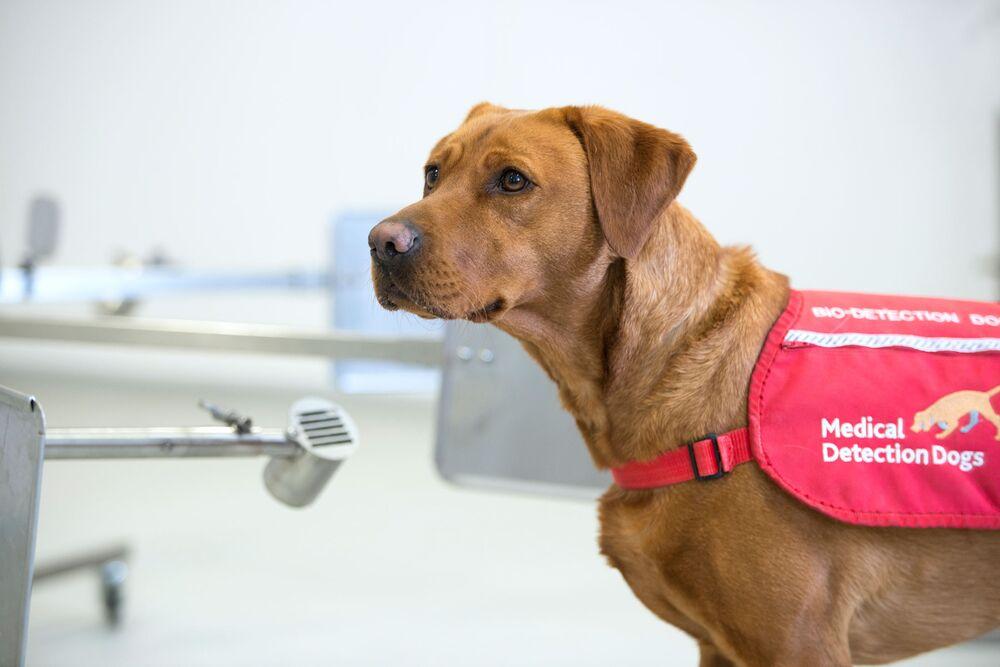 Một con chó phát hiện Covid-19 đang được huấn luyện. Nguồn: Sở Y tế và Chăm sóc Xã hội Anh