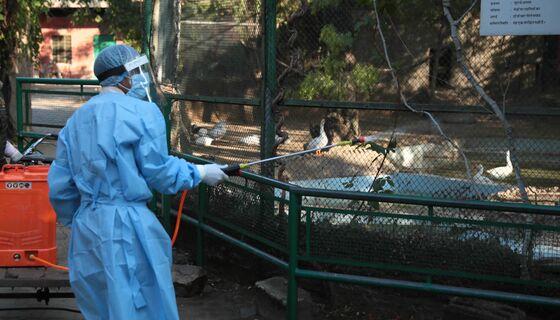 Indian Zoo Stops Feeding Chickens to Hawks on Bird Flu Fears