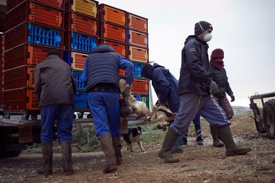 Unrelenting Bird Flu Spread Sparks Egg Shortagesin South Korea
