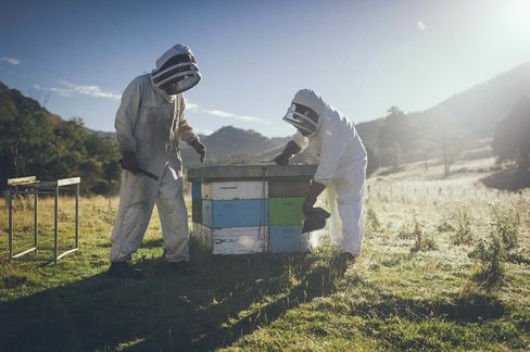 Comvita's Kiwi Bee beekeepers caring for their hives in New Zealand's North Island.