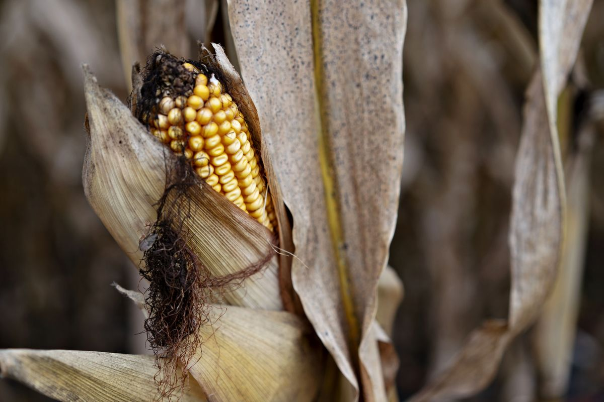 Hedge Funds Versus Analysts: Corn Predictors Are Squaring Off