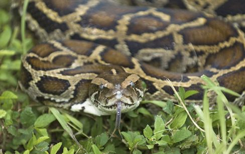 Killing Pythons for Cash Lures Hunters to Florida's Everglade