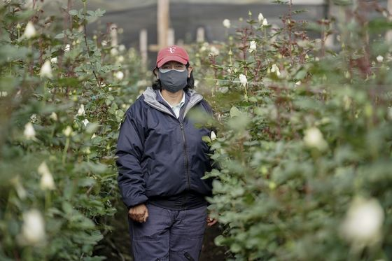 Colombia Flower Growers Recover After Trashing Millions of Roses