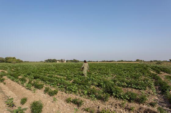 Cotton Crisis Destroys Jobs Tied to Pakistan's Biggest Cash Crop
