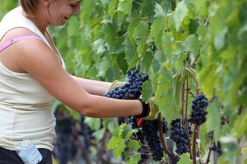 A woman picks grapes during the grape harvest at 'Castello La Leccia' on Oct. 1, 2014 in Castellina in Chianti, Italy.
