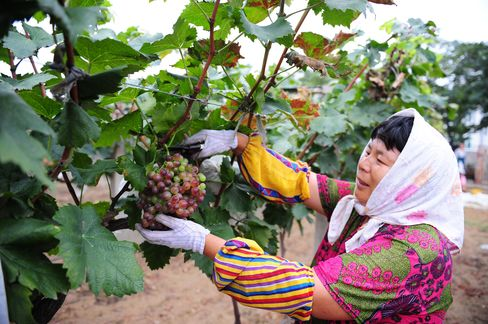 A worker tends to the grapes growing in the vineyard of Changyu Pioneer Wine.