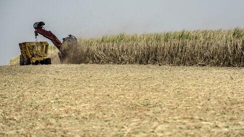 Sugar Cane Harvested in Brazil