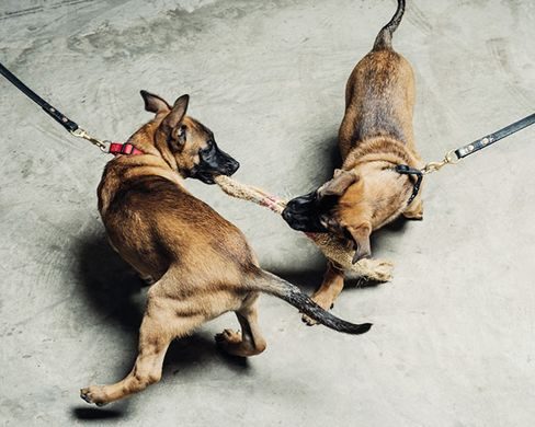 Two Belgian Malinois puppies, cloned from the DNA of a dog that's currently deployed with a unit of the U.S. Army Special Forces