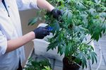 An employee makes cuttings from a mother plant to grow new marijuana plants.
