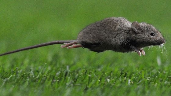Cannibal Mice Threaten Sydney Homes and Australian Farms