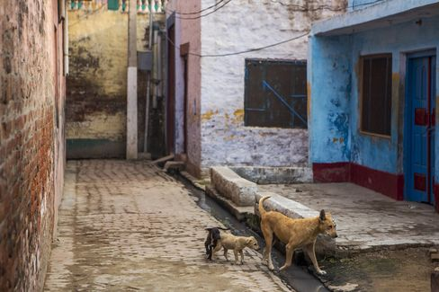 Animals walk past Mohammed Akhlaq's house in Bishara village