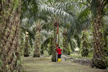 Palm Trade War Looms as Europe Sets Limits on Use in Biofuel