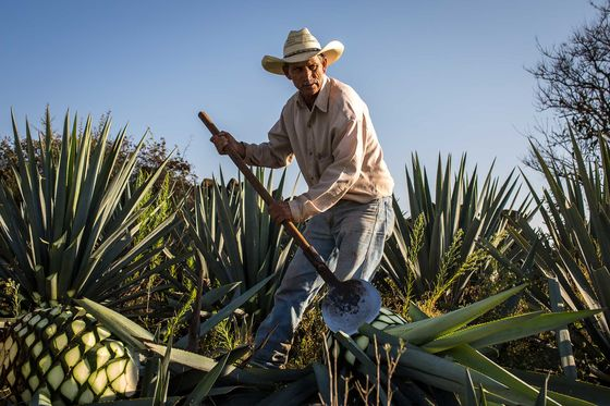 Patrón Made Tequila Top-Shelf. Will Bacardi Dilute It?