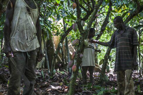 Cocoa Farming In Ivory Coast
