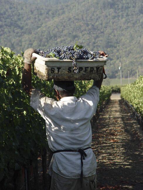 Grape harvest at St. Supéry.