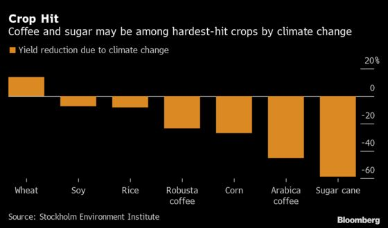 Climate Change May HalveSugar andCoffee OutputBy 2099