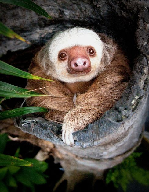 Homer the Two-Toed Sloth