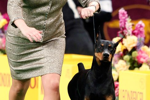 Westminster Dog Show Viewer's Guide: The Smart Money's on Fifi the Doberman