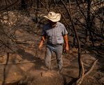 A fifth generation cattle rancher grabs a cow bell off of the carcass of a dead cow after the North Complex West Fire in the Tahoe National Forest in Butte County, California on Oct. 2.