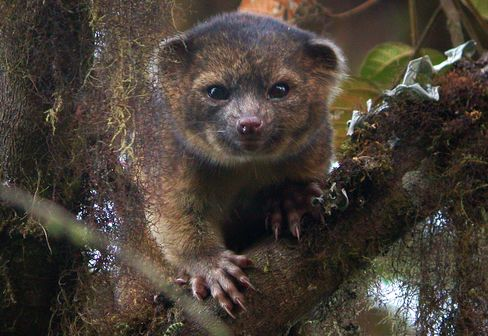First New Carnivore in 35 Years Found in Andean Cloud Forest