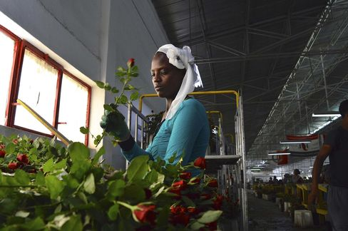 An Ethiopian worker for the AQ Roses sorts stems in Ziway, Ethiopia. Within two days they can be on sale across Europe.