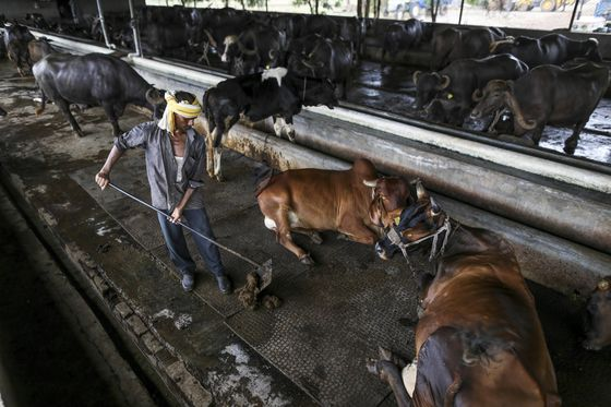 Dairy Farmers Stymie India's Bilateral Trade Deal With U.S., EU