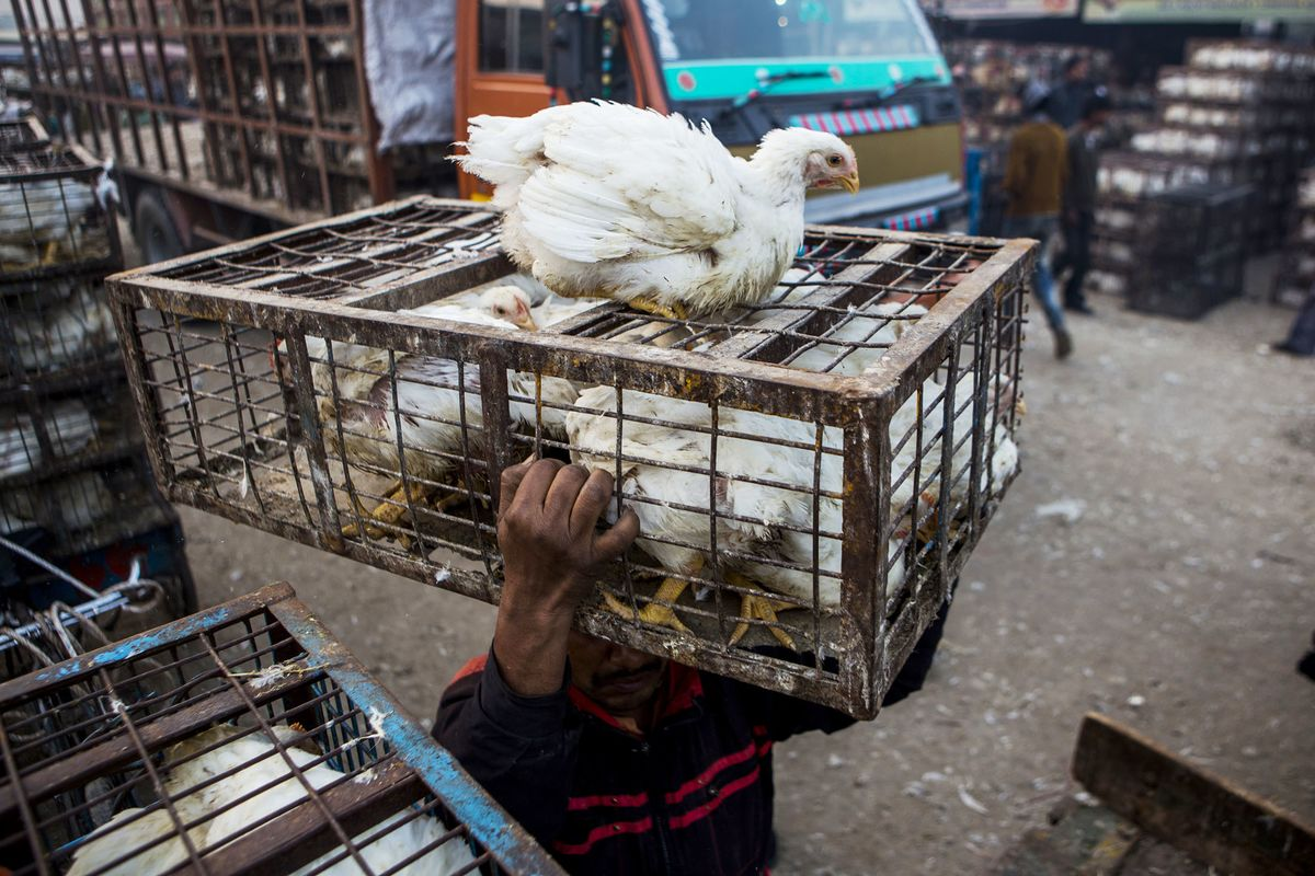 Indian Poultry Farms Are Breeding Drug-Resistant Superbugs