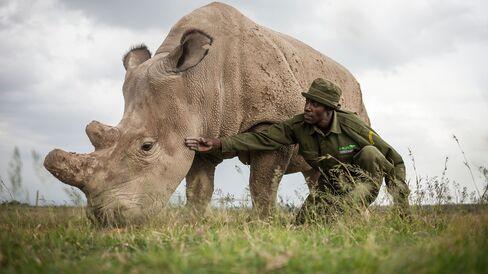 Mohammed Doyo, head caretaker, spends time with Fatu, a northern white rhino female at the Ol Pejeta Conservancy in Kenya.