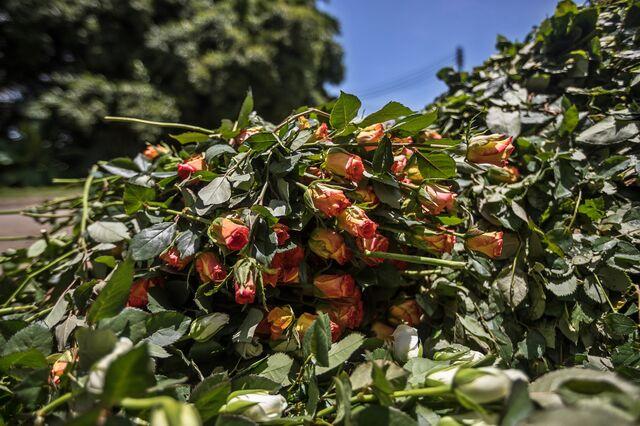 ケニアのナイバシャにあるニニフラワーファームに捨てられた花。