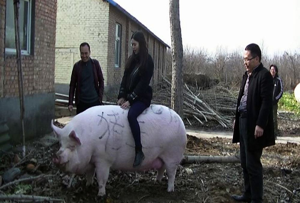 A visitor rides on the 750-kilogram pig at a farm in Zhengzhou city, Henan province.