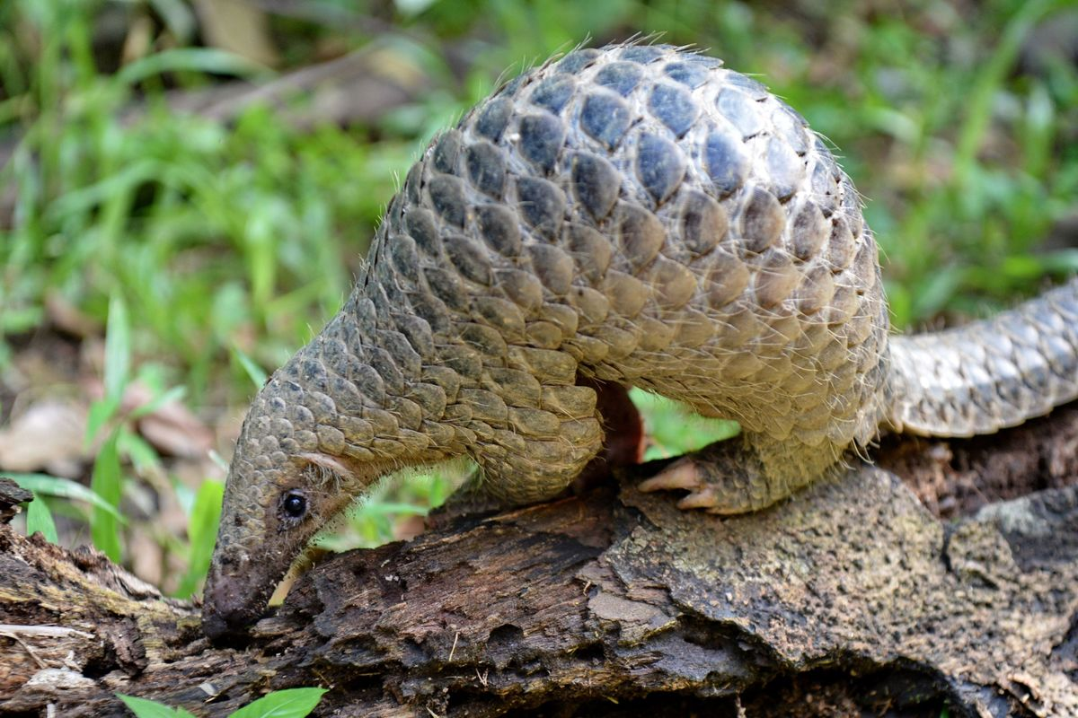 This Singapore Road Lets Pangolins, Mousedeers Cross Safely