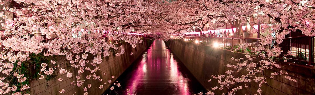 Now's the Time to Make Your Japanese Cherry Blossom Dreams Come True