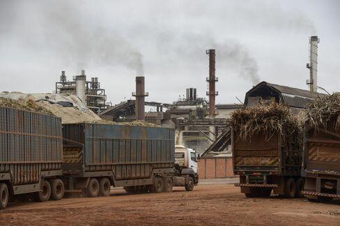 Dry Weather Threatens Sugar Crops