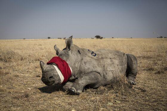 Botswana Raises Alarm Over Unprecedented Surge in Rhino Poaching
