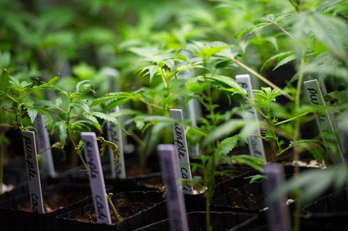 Marijuana plants grow at the MedMar Healing Center, a medical-marijuana dispensary, in San Jose, Calif., on Feb. 7, 2013.