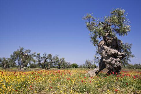 Centuries-Old Italian Olive Trees Die as Scientists Track Killer