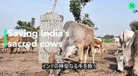 relates to インド総選挙:「牛」問題が争点に