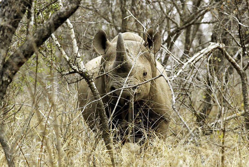 A black male rhinoceros is seen at a gam