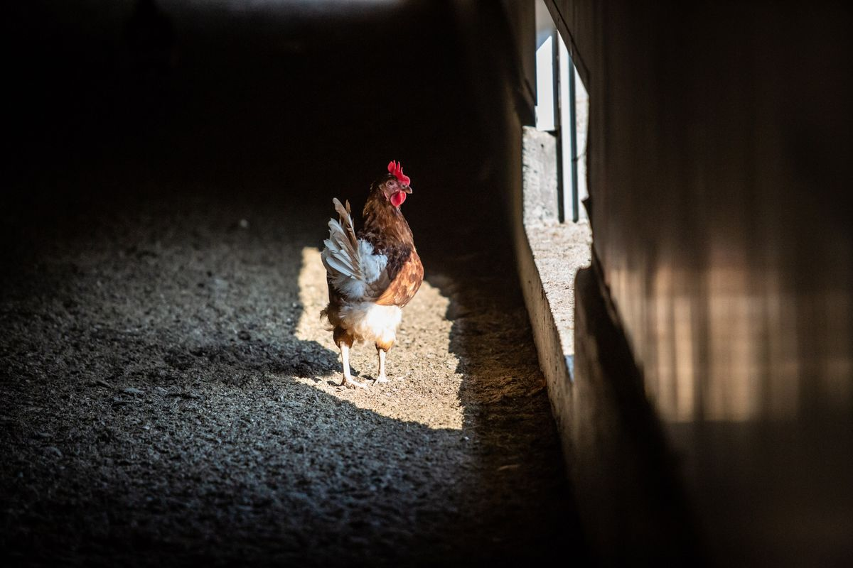 White Striping Disease Hits 99% of U.S. Supermarket Chicken, Study Finds