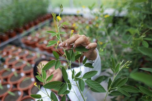 An employee examines Pigeon pea transgenic plants inside a greenhouse.