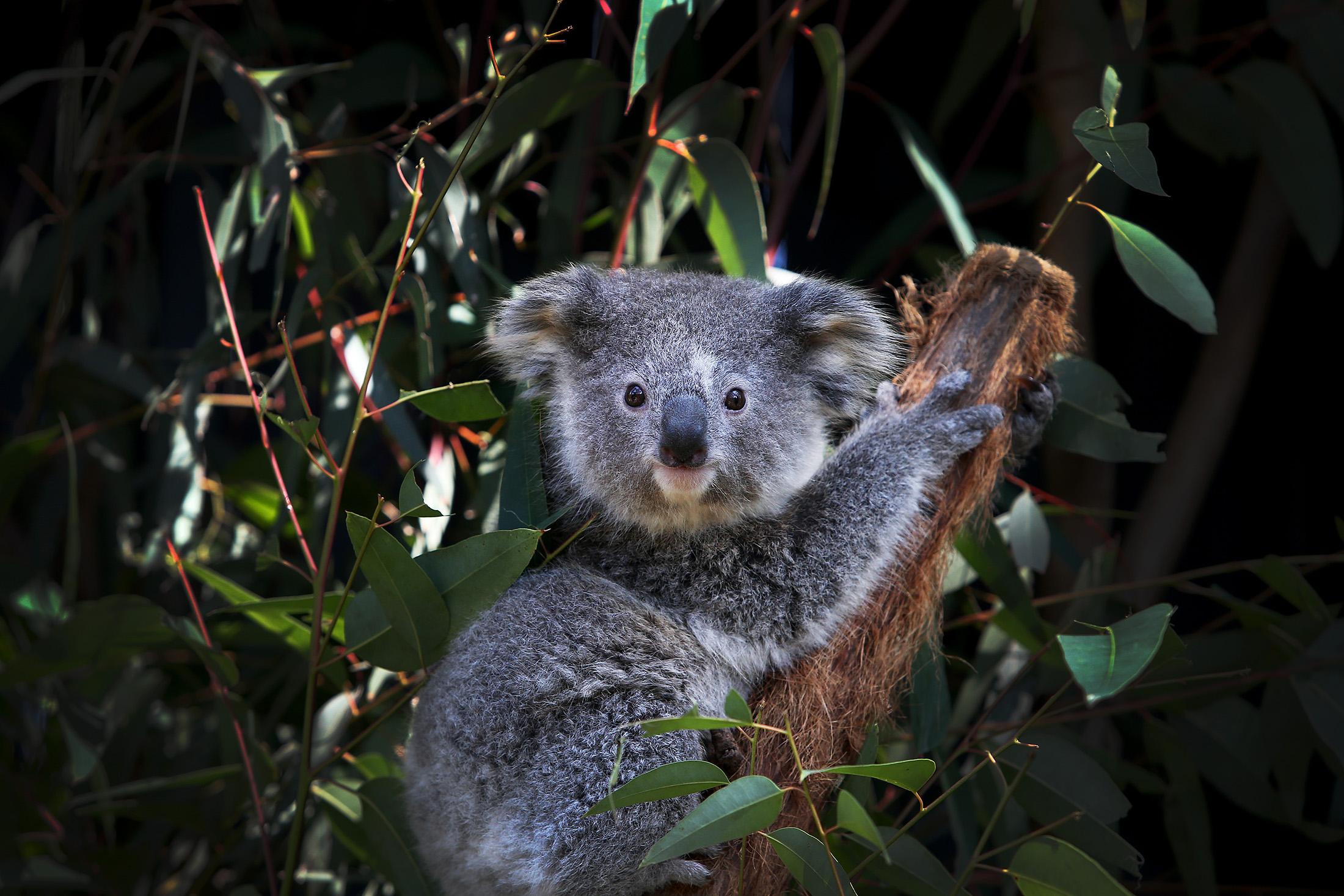 NSW Works To Save The Koala As Bushfires, Habitat Loss And Disease Threaten Future Of Australia's Iconic Animal