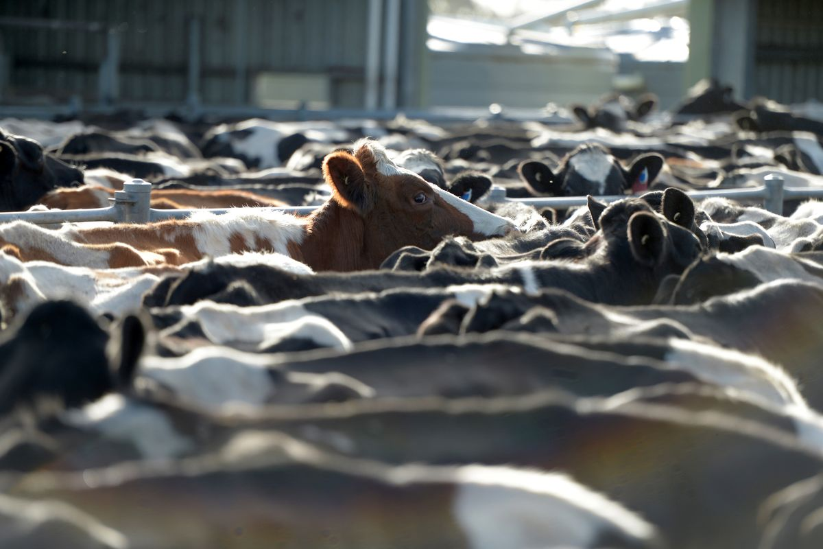 One Answer to Cutting Potent Cow Emissions Is Awaiting EU Nod